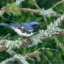 Black-throated Blue Warbler (Transparent Watercolor on W&N 140lb NCP Paper about 10 x 7 in) Original available