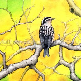 Black and White Warbler (Transparent Watercolor on W&N 140lb NCP Paper 10 x 14 in) Private Collection