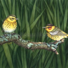 "Cape May Warbler (Transparent Watercolor on W&N 140lb NCP Paper 10 x 14 in) Original painting is available <a href=""https://www.etsy.com/listing/85625702/original-watercolor-painting-of-cape-may?ref=shop_home_active_30"">here.</a>"