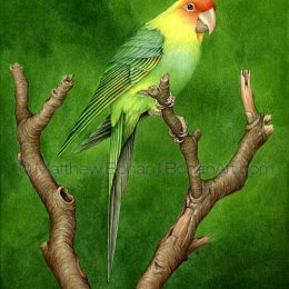 Carolina Parakeet (Transparent Watercolor on W&N 140lb NCP Paper 10 x 14 in) NFS
