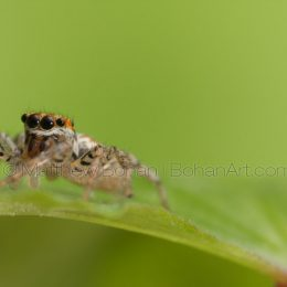 Dipmorphic Jumper Sub-adult male