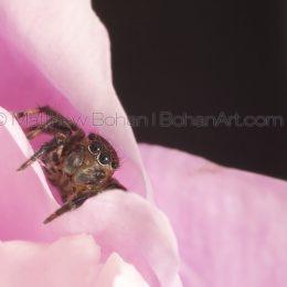 Euophyinae Jumping Spider