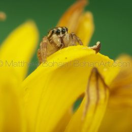 Reckless jumper (Pelegrina proterva) Jumping Spider