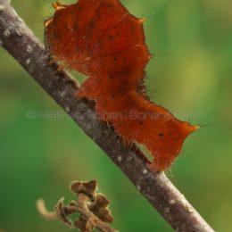 Clear Dagger Moth Caterpillar