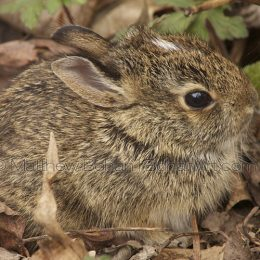 Eastern Cotton-tailed Rabbit