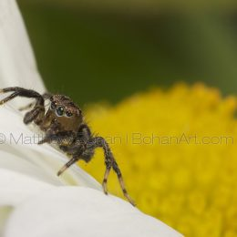 Jumping Spiders (Salticidae) » Euophryinae » Naphrys sp.