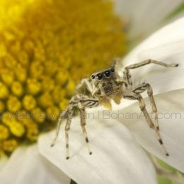 Dimorphic Jumping Spider Light Morph Male