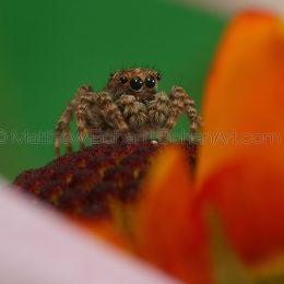 Platycryptus undatus Tan Jumping Spider
