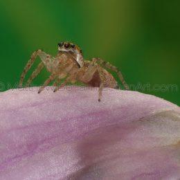 Female Dipmorphic Jumping Spider