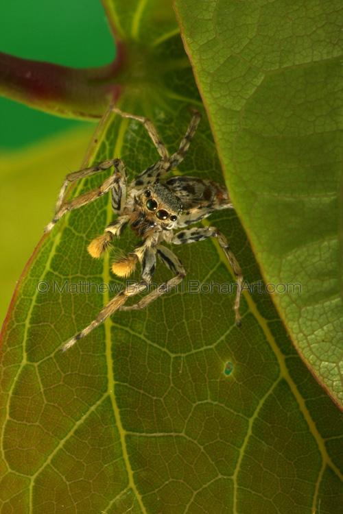 Dimorphic Jumping Spider Light Morph Male