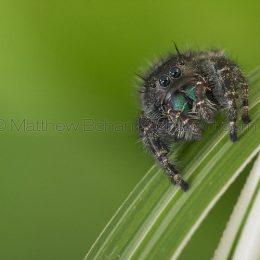 Daring Jumping Spider Phidippus audax
