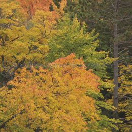 Fall Foliage, MI