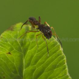 Ant Mimic Jumping spider Synemosyna sp. ?