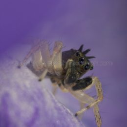 Dimorphic Jumping Spider Dark Morph Male