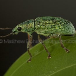 European green leaf weevil