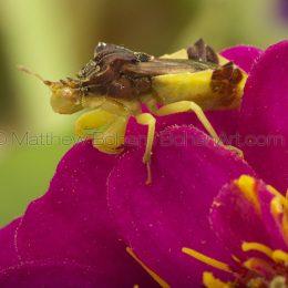 Jagged Ambush Bugs (Phymata) » Phymata americana