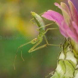 Assassin Bug Nymph Genus Zelus