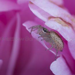 Female dimorphic jumper