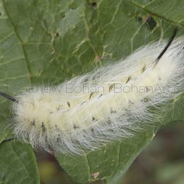 Spotted apatalodes Moth Caterpillar