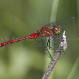 Ruby Meadow Hawk Dragonfly