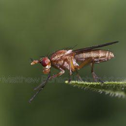 Marsh Fly