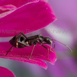 Ant-mimic Broad-headed Bug