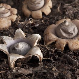 Earth Star Puff Mushrooms