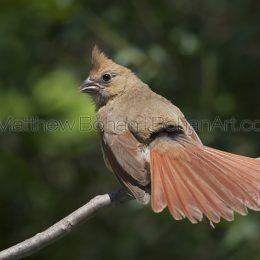 Juvenile Northern Cardinal