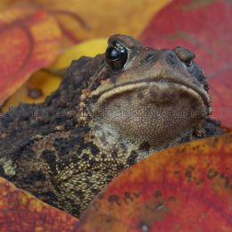 One-eyed American Toad