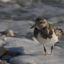 Winter Ruddy Turnstone