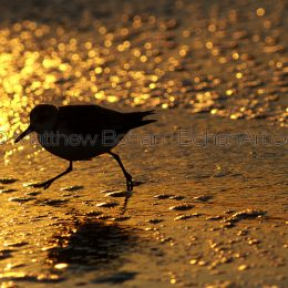 Sunset Sanderling