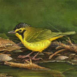 Kentucky Warbler (Transparent Watercolor on 140lb HP Paper 5 x 7 in) Original Available