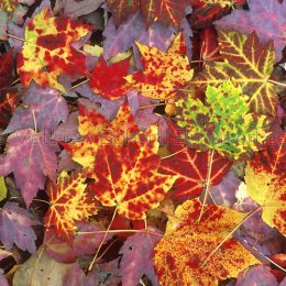Maple Leaf Litter
