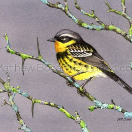 Magnolia Warbler (Transparent Watercolor on W&N 140lb NCP Paper about 10 x 7 in) Original Available