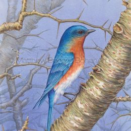 Male Eastern Bluebird (Transparent Watercolor on 140lb HP Paper 7.5 x 10.5 in) Original Available