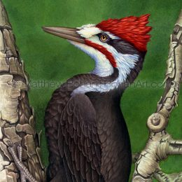 Pileated Woodpecker (Transparent Watercolor on W&N 140lb NCP Paper 10 x 14 in) Private Collection