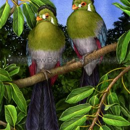 "White-faced Touraco (Transparent Watercolor on W&N 140lb NCP Paper 10 x 14 in) Prints are available <a href=""https://www.etsy.com/listing/176198230/print-of-white-cheeked-turacos?ref=shop_home_active_18"">here.</a>"