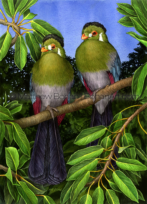 White-faced Touraco (Transparent Watercolor on W&N 140lb NCP Paper 10 x 14 in) NFS