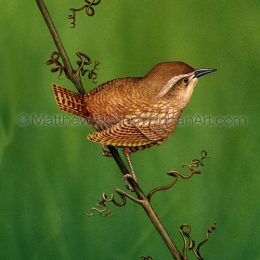 Winter Wren (Transparent Watercolor on W&N 140lb HP Paper crop from 10 x 14 in) Private Collection