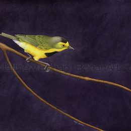 Bachman's Warbler (Transparent Watercolor on W&N 140lb NCP Paper 10 x 14 in)