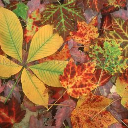 Maple/Buckeye Leaf Litter