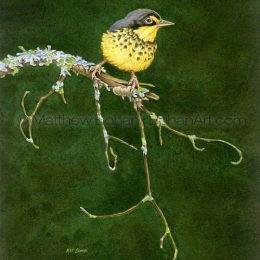 "Canada Warbler (Transparent Watercolor on 140lb HP Paper 8 x 10 in) Original painting is available <a href=""https://www.etsy.com/listing/85578425/original-watercolor-painting-of-canada?ref=shop_home_active_32"">here.</a>"