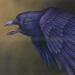 American Crow (Transparent Watercolor on Arches 140lb HP Paper 18 x 24 in) Original Available
