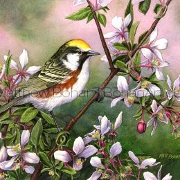 Chestnut-sided Warbler on Crab Apple (Transparent Watercolor on 140lb HP Paper 7.5 x 10 in)