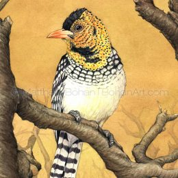D'Arnaud's Barbet (Transparent Watercolor on W&N 140lb NCP Paper 5.5 x 13.5 in)