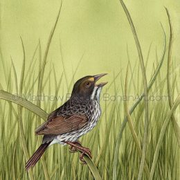 Dusky Seaside Sparrow (Transparent Watercolor on W&N 140lb NCP Paper 10 x 14 in) NFS