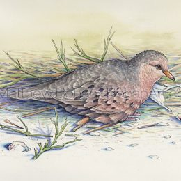 Ground Dove (Transparent Watercolor & Ink on Arches 140lb HP Paper 8 x 10 in) Original Available