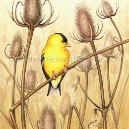 American Goldfinch on Teasel (Transparent Watercolor on W&N 140lb NCP Paper 10 x 14 in) University of Michigan's Collection