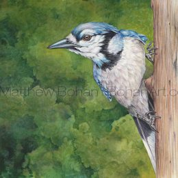 "Blue Jay (Transparent Watercolor on 140lb HP Paper 10 x 7.5 in) Original Available. Prints are also available <a href=""https://www.etsy.com/listing/260162529/print-of-blue-jay-watercolor-painting?ref=shop_home_active_44"">here.</a>"
