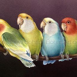Peach-faced Lovebird Varieties (Transparent Watercolor on W&N 140lb NCP Paper about 8 x 14 in) NFS